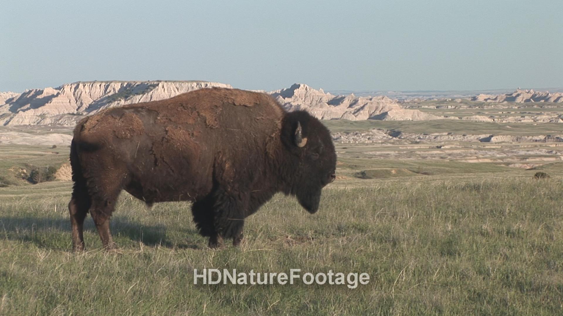 Bison at Badlands